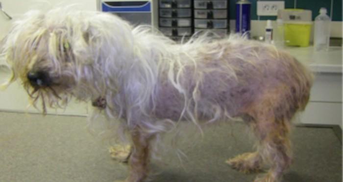 Syndrome De Cushing Chez Le Chien Clinique Vétérinaire