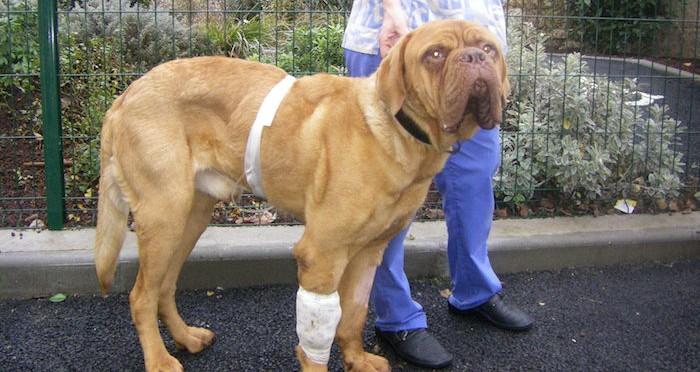 Dogue de Bordeaux de 1 an présentant une maladie rénale chronique congénitale avancée.