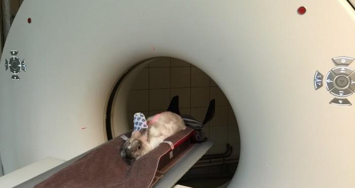 Réalisation d'un scanner chez un lapin. Le scanner est un examen de plus en plus utilisé chez les NAC permettant de détecter des anomalies pouvant dans certains cas être non détectées avec un examen clinique seul ou des radiographies.