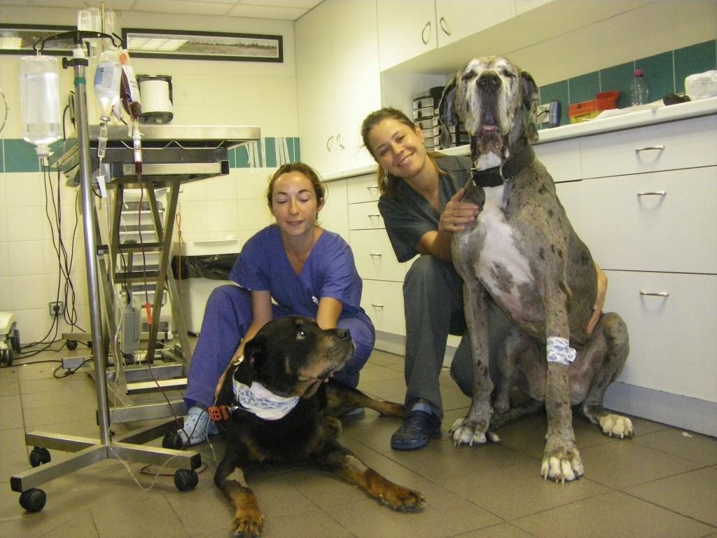 En donnant son sang, Pearl a sauvé la vie d'Ulyss qui souffrait d'une hémorragie interne ! – avec Ulyss, Infirmière vétérinaire Isabelle, Dr Vétérinaire Mélanie et Pearl.